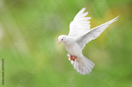 Canvas Print - White Dove on green Bokeh