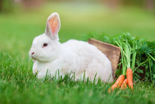 Cute White Dwarf Rabbit With A Carrot In Grass