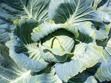Cabbagehead Of White Cabbage I...