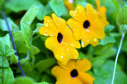 Black-eyed Susan vine with raindrops Fototapeta