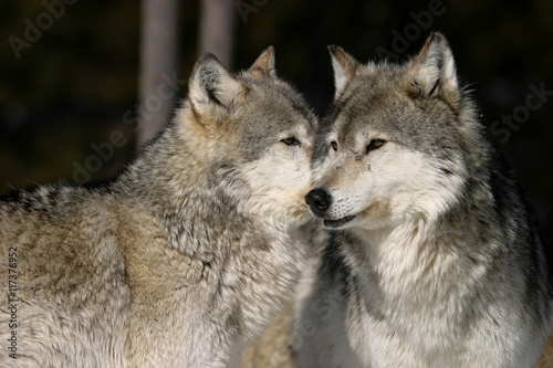 Photo  Gray Wolves