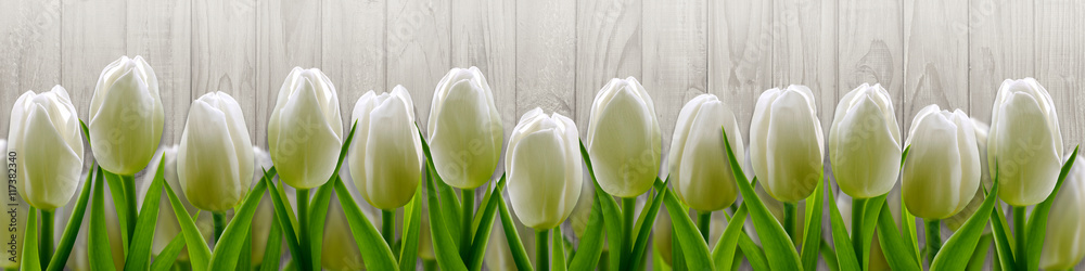 Fototapety, obrazy: White tulips on background wooden fence