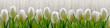 White tulips on background wooden fence