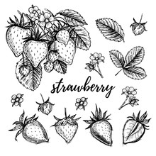 Hand Drawn Vector Illustration - Strawberry Set (plant, Berries,