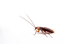 Cockroach Isolate Be Alive On White