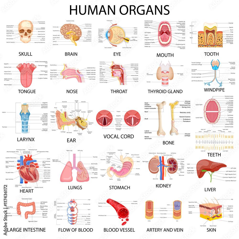 Chart Of Different Human Organs Foto Poster Wandbilder Bei Europosters