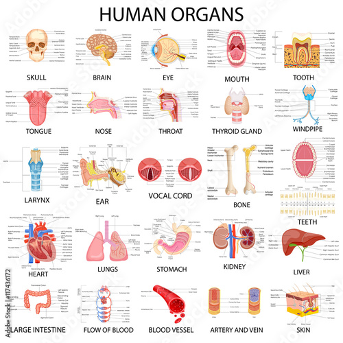 Chart of different Human Organs Tapéta, Fotótapéta