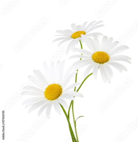 Three flowers of chamomile isolated on a white background