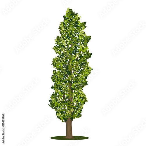 Fototapeta detached tree poplar with green leaves