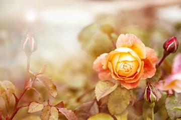 FototapetaYellow rose in sunlight