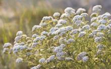 Medicinal Yarrow Flowers In Sunset Sunlight