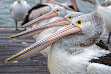 FototapetaPelican close up portrait on the beach