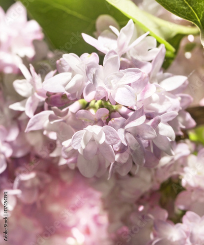 Delicate flowers of lilac pink terry Wallpaper Mural
