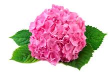 Hydrangea Pink Flower With Gre...