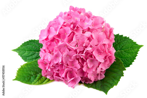 Staande foto Hydrangea Hydrangea pink flower with green leaf on white