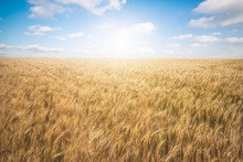 Wheat Farm With Great Sky