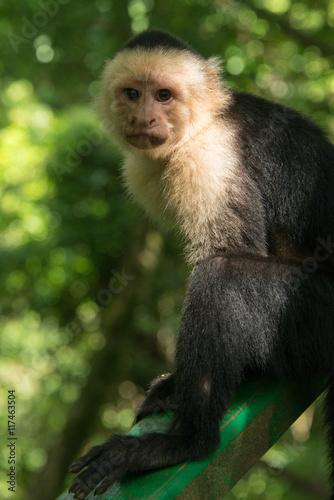 Photo Cute Capuchin Monkey