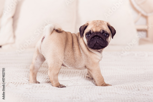 Fotomural Little beige pug puppy standing on the bed. Hprizontal.