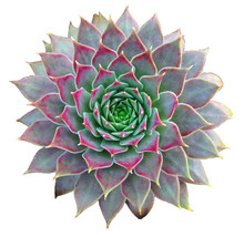 Succulent Clip Art