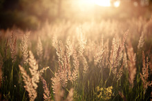 Various Herbs And Ears In The Golden Sunset Light Of The Sun