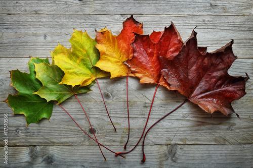 Fotomural Transición de la hoja de arce del otoño