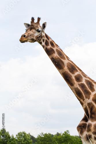 Fényképezés  Giraffe portrait wild zoo. Close up shot.