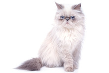 Cat With Grumpy Muzzle Expression