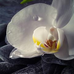 Obraz na Plexi Czarno-Biały orchidea con rugiada