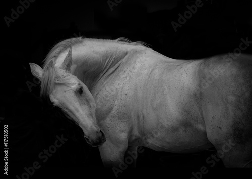 portrait of the white horse on the black background