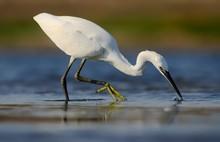 Little Egret (Egretta Garzetta...