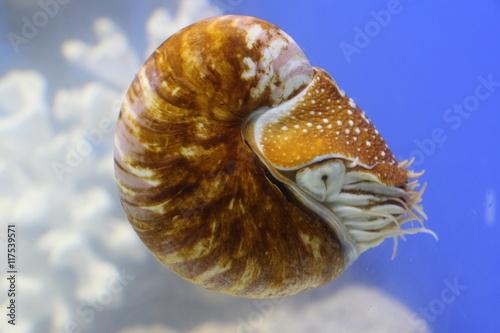 Fotografie, Obraz  Marine mollusk nautilus pompilius