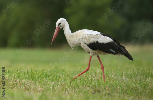 White stork - 117544543