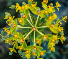 Macro Cyprus Spurge Bloom