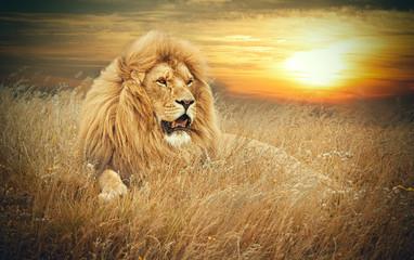 Fototapeta na wymiar Lions