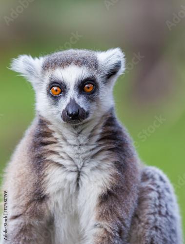 Photo  black and white lemur