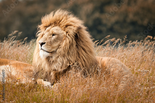 Fotobehang Leeuw Lions