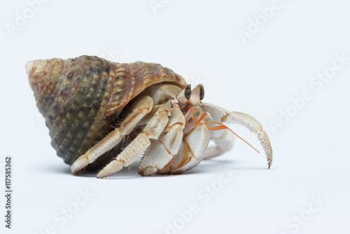 Photo Hermit Crab on white background