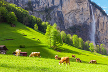 Summer Landscape With Cow Grazing On Fresh Green Mountain Pastures And High Waterfall On Background. Lauterbrunnen, Switzerland, Europe.