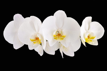Panel Szklany Nowoczesny White orchids on a black background isolated