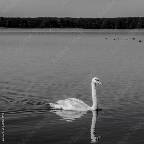Fototapeta Łabędź na jeziorze obraz na płótnie