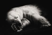 Polar Bear/Polar Bear Sleeps At The Zoo In Novosibirsk, Russia