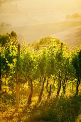 FototapetaVineyard rows in backlight in Marche, Italy