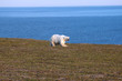 Relevant today: in summer, polar bears remain on Islands and search of food