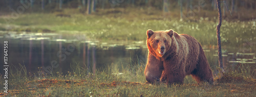 Photo  Big male bear walking in the bog at sunset