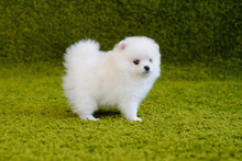 Little Puppy. Pomeranian Spitz-dog