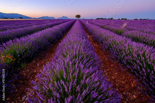 Fotobehang Snoeien Tree in lavender field at sunset in Provence, France