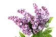 Blooming lilac flowers isolated on a white