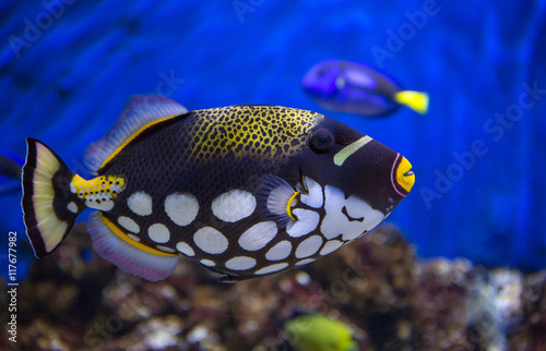 Clown Trigger Fish Poster