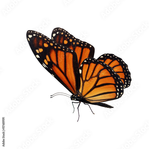 Fotografie, Obraz  Beautiful orange monarch butterfly isolated on white background