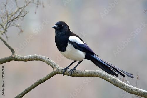 Fotografie, Obraz Eurasian magpie bird